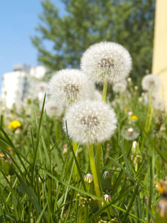 spring in the city: dandelions closeup in urban background photo