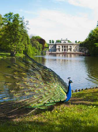 lazienki: peacock in a classic park