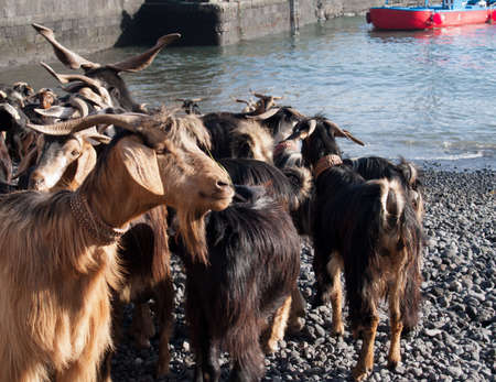 goats before traditional bathing in Atlantic Ocean, Tenerife Stock Photo - 14357887
