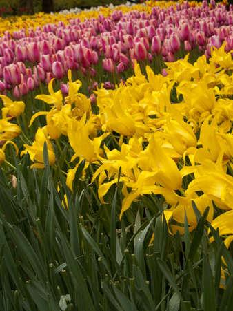 Colorful Tulips road in Keukenhof Gardens photo
