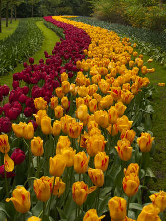 Colorful Tulips road in Keukenhof Gardens Stock Photo