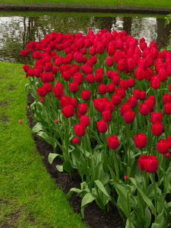 Colorful Tulips field in Keukenhof Gardens Stock Photo