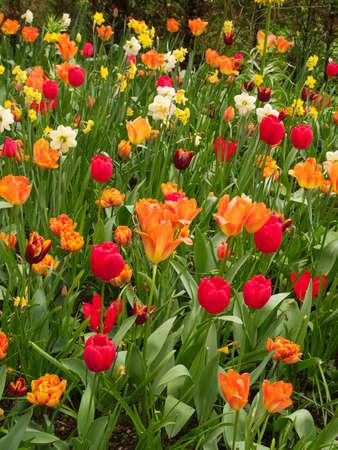 Colorful Tulips field in Keukenhof Gardens Stock Photo