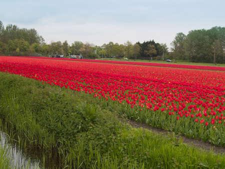 Tulpen Feld im Keukenhof Lizenzfreie Bilder