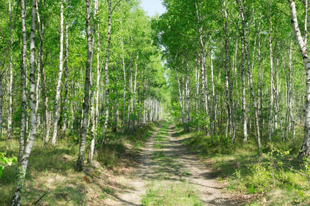 birch alley in sunlit summer forest photo