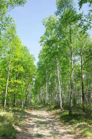 birch alley in sunlit summer forest Stock Photo