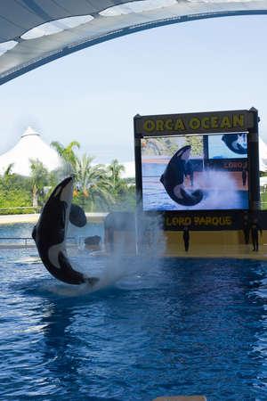PUERTO DE LA CRUZ, TENERIFE - December 26: Orca Ocean show has helped the Loro Parque become Tenerifes most popular attraction on December 26, 2013 in Puerto De La Cruz, Tenerife.  Editorial