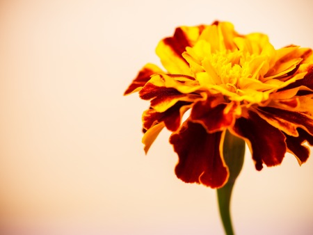 biege: Flower of marigold on the biege background. Shallow focus Stock Photo