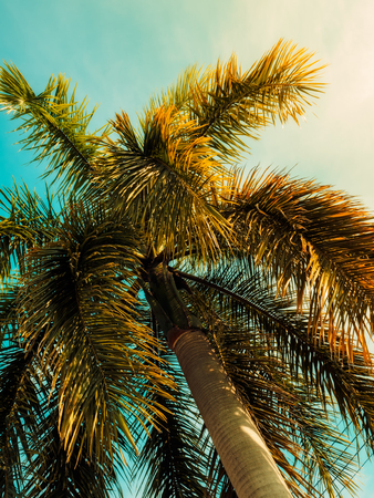 Palm tree against blue sky. Vintage toned. Nature landscape. Trcal background. View up