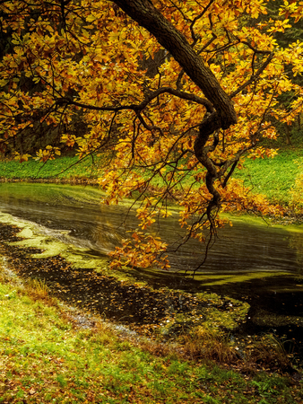 Small river in the autumn park. Branch of oak with yellow leaves