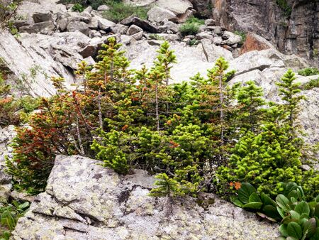 Stunted trees growing on a rock in the mountains Stock Photo