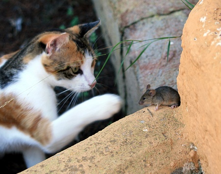 cat and mouse Stock Photo - 12378180