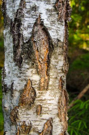 Back of birch tree