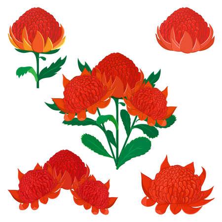 Vector illustration of Waratah or Telopea. Australian native bush flower. Set of flowers isolated on white.