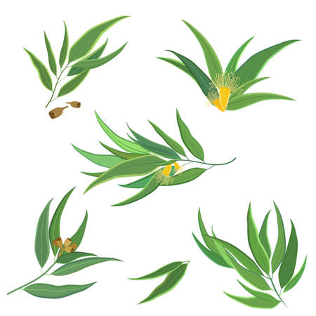 Vector set of eucalyptus leaves, twigs, branches with flowers and seed pods isolated on white. Perfect for website design, digital scrapbooking, packaging or card design.