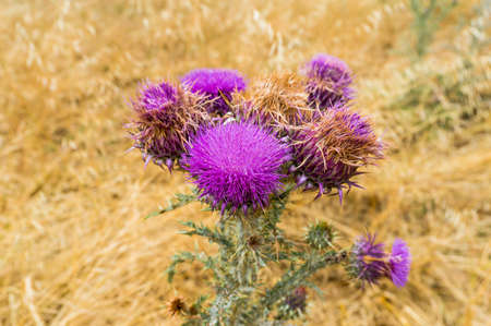 medical plant: Blooming thistle or Silybum Marianum plant against blurry background. Close up of Milk thistle medical plant in a wild against blurry yellow field grass on the background