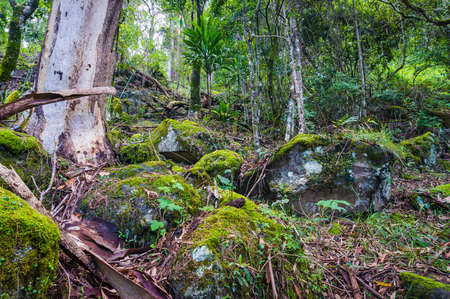 Ancient Gondwana rainforest. Nature, rainforest in Lamington National Park, Queensland, Australia. Nature background of tropical rainforest