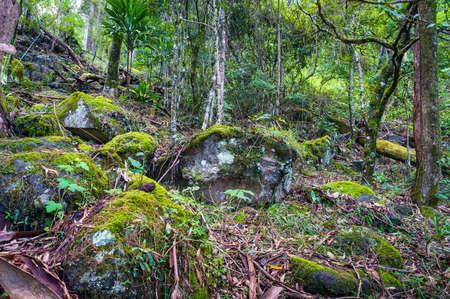 gondwana: Ancient Gondwana rainforest. Nature, rainforest in Lamington National Park, Queensland, Australia. Nature background of tropical rainforest