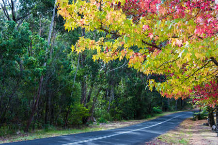 wilson: Autumn countryside road with colorful trees on sunny day. Bright and vivid foliage with blurred country road on the background. Selective focus on leaves. Mount Wilson, Australia