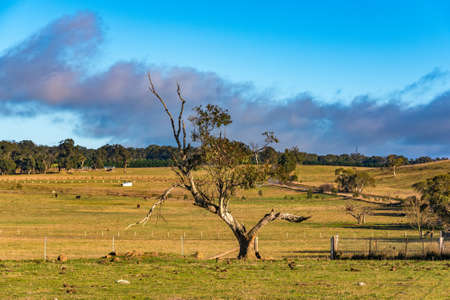 australian landscape: Rural Australian landscape. Pastures in summer with farm animals, green grass, eucalyptus trees and blue sky. Australia, NSW