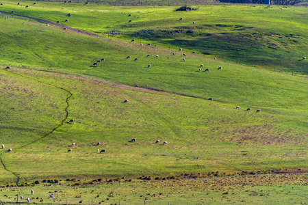 australian landscape: Aerial view of animals grazing green grass on paddock pasture against blue sky. Cattle on the farm rural agriculture scene. Australian outback landscape on sunny day. Copy space