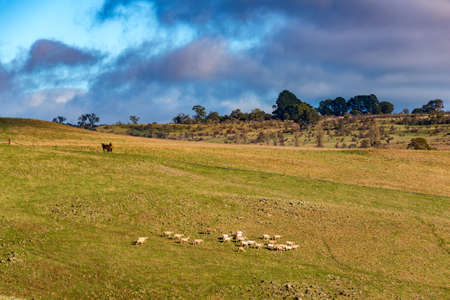 Farm animals on paddock. Sheep and horses grazing on green field. Agriculture outback landscape on sunny day,