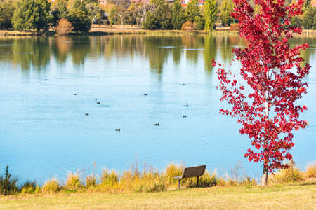 Autumn landscape of Gungahlin Pond Park with red maple tree, bench and blue pond with ducks on the background. Canberra, Australian Capital Territory, Australia. Selective focus on foreground Stock Photo