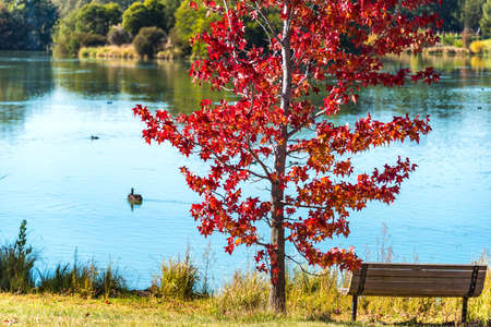 Autumn park with pond and red maple Stock Photo