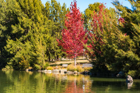 Autumn park with pond and red maple tree