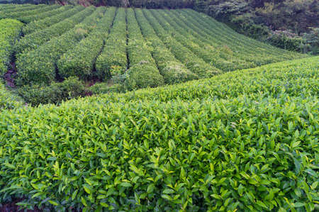 sencha: Beautiful fresh green tea plantation of Shizuoka