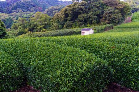 sencha: Farm house anomg green tea bushes