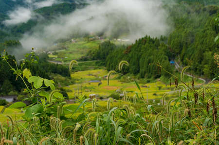 Close up of wild grass with rice field terraces on the background Stock Photo