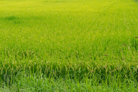 Agriculture background of a paddy, field with green ripe rice ready to harvest Stock Photo