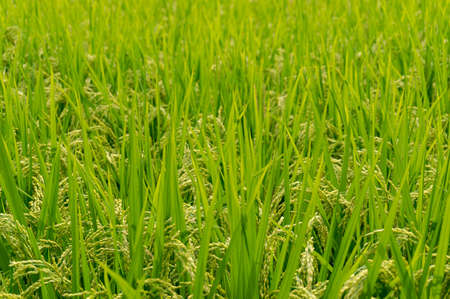 Agriculture background of a paddy, field with green ripe rice ready to harvest. Selective focus, depth of field