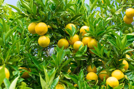 orange grove: Bright ripe oranges on tree surrounded by lush green leaves. Farm background