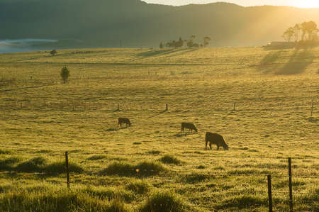 Grazing cows on sunlit pastures in the morning. Agriculture scene 写真素材
