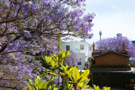 Flowering Jacaranda trees with urban background. Spring in Sydney, Australia Stock Photo