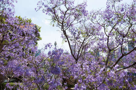 Jacaranda trees with Sydney Tower on the background. Floral background with famous landmark. Sydney, Australia Stock Photo