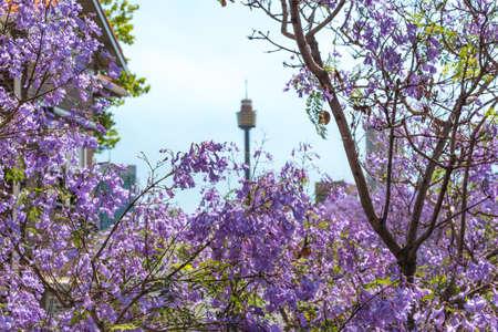 Jacaranda flowers close up with blurred Sydney Tower on the background. Sydney, Australia