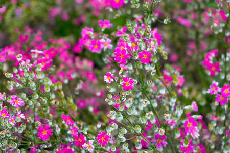 Beautiful flower background of bright pink flowers sweet william beautiful flower background of bright pink flowers sweet william pinks flowers on spring stock mightylinksfo