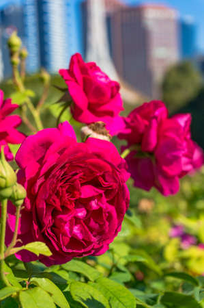 Bright crimson red rose flowers with blurred cityscape on the background