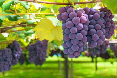Grape vines of ripe grape in vineyard on sunny day close up. Vineyard harvest time