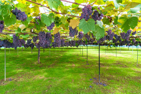 Vineyard harvest time scene with beautiful ripe shiraz ripe grape vines hanging over green background Stock Photo