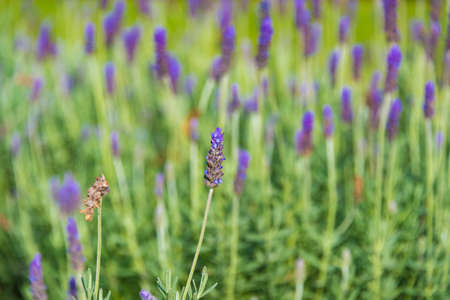 fragrant: Beautiful Lavender flower meadow nature background