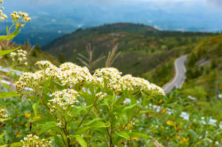 White wild flowers with windy mountain road on the background. Japanese countryside landscape