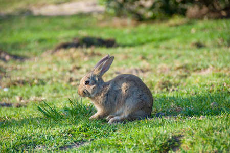 lapin: Little rabbit with brown eyes sitting on green grass background