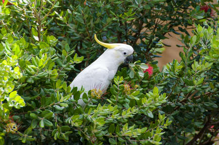 Cockatoo parrot bird on banksia tree eating red flowers