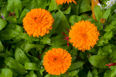 Three bright orange calendula flowers with green leaves on the background. Nature background
