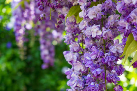 Delicate purple wysteria flowers hanging against green foliage nature background