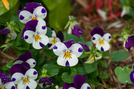 Pansy flowers on flowerbed. Viola tricolor close up nature background